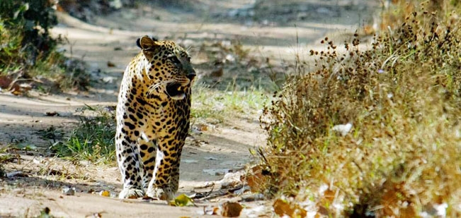Pench National Park Guide - Central India - Rudyard   Kipling's Sherkhan is here...