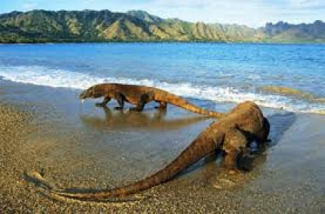 Komodo Dragon Island Tour  Package