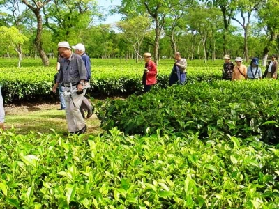 Assam Tea Tour Package - Tea Growing state in India and Famous Tea capital of the World