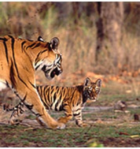 The Great Indian Jungle Safari Tour Package in Central India
