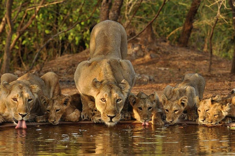 Kuno wildlife Sanctuary Guide - Possible 2nd home for Asia Lions