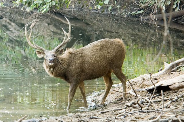 Majestic Sambhar venturing in Bori Wildlife Sanctuary_Itarsi