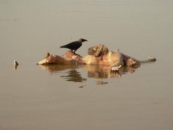 Dead Bodies Floating in Ganga