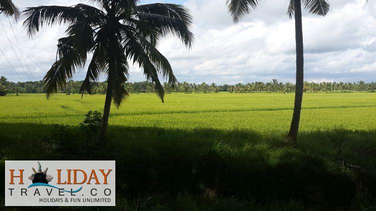 Kochi-Paddy-Fields-Green-View