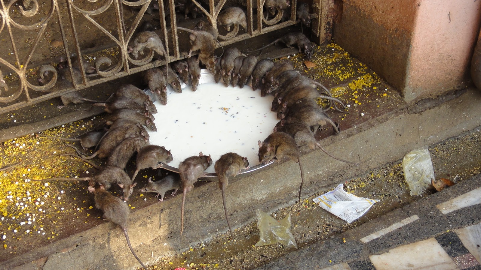 Mata Rat temple Bikaner