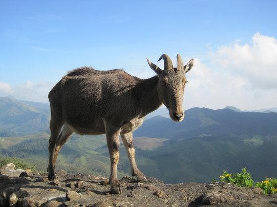 MunnarTour-Rajamalai-eravikulam-national-park-Nilgiri-Taher