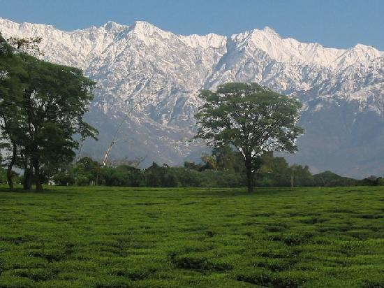 Snow Capped Dhauladhar Mountains Around palampur Tea Estates