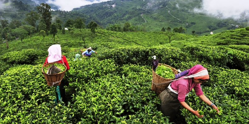 Assam Tea Tour Package from Guwahati starts from Guwahati and customise from any destination