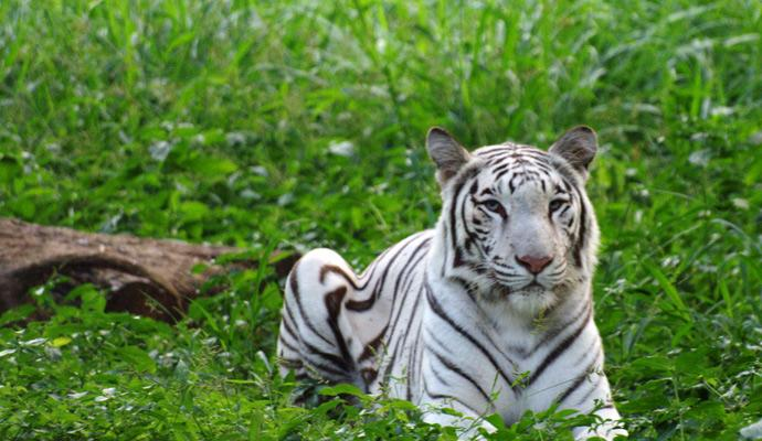 bandhavgarh national park white tiger