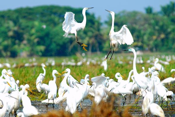kumarakom-Bird-Sanctuary-little-egrets