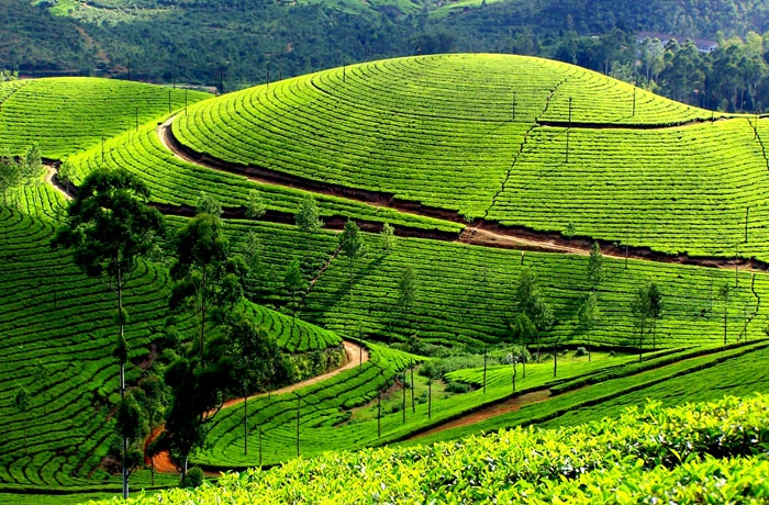 sri lanka Nuwara Elliya tea plantation.jpg